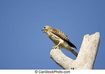 Sharp-shinned Hawk - A Sharp-shinned Hawk perched in a dead ...
