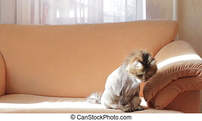 A shaved gray cat is sitting on the sofa. Grooming