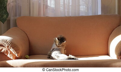 A shaved gray cat washes on the couch. Animal care concept
