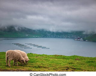 A sheep eating grass in the field with blue sky and clouds, sheep in the field eating green grass