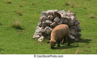 A sheep grazing on a field - A still medium shot of a sheep...