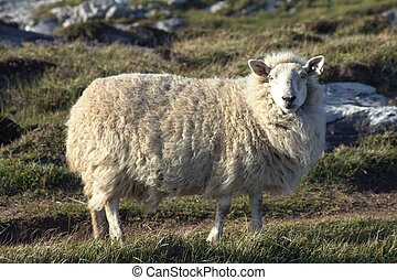 A sheep in a windy day.