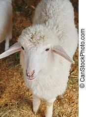 a sheep in farm