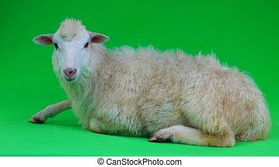 a sheep lies on a green screen