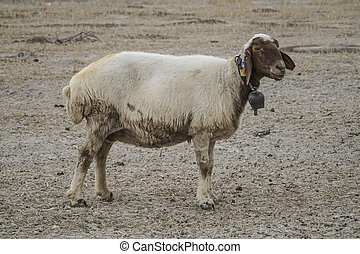 sheep standing alone