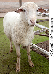 A sheep standing in green field.