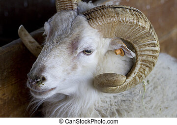 A sheep with horns