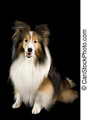 collie dog - a shetland sheep dog or collie dog isolated on...