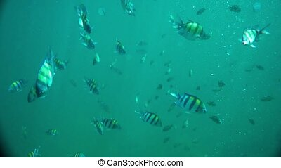 A shoal of Sergeant Major fish underwater in the Andaman...