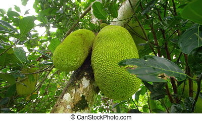 A shot of 2 jack fruits on tree