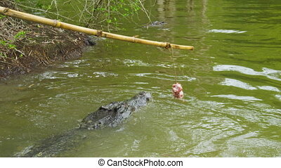 A shot of a crocodile and alligator biting at bait