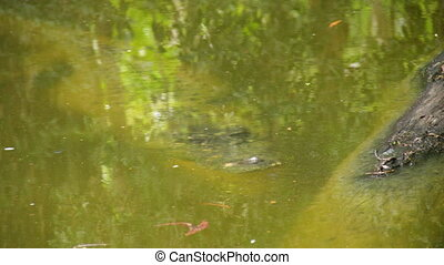A shot of a crocodile hiding on water