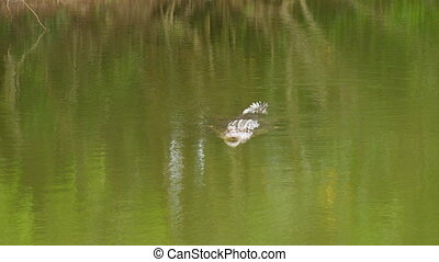 A shot of a crocodile on water - A full shot of a crocodile...