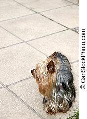 cupcake yorkie dog in a garden patio