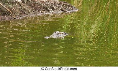A shot of alligator - A medium shot of a alligator submerged...