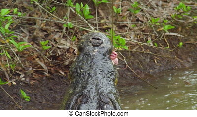 A shot of alligator eating bait