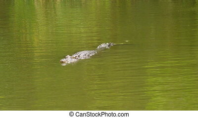 A shot of alligator on water - A full shot of a alligator on...