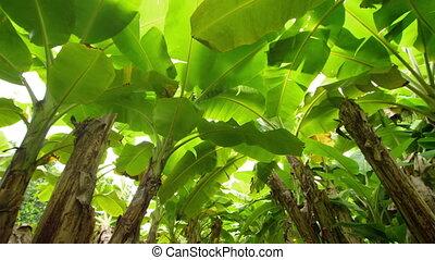 A shot of banana trees - A worms eye view of banana trees