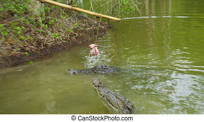A shot of crocodile and alligator