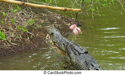 A shot of crocodile jumping for bait