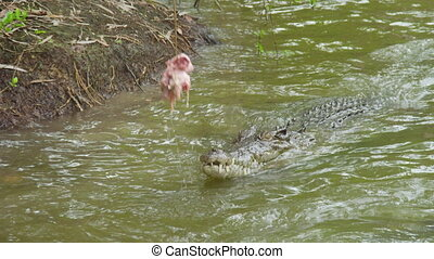 A shot of crocodile reaching out for bait