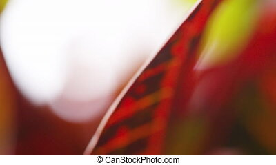 A shot of red leaves - A macro shot of a red leaves while...