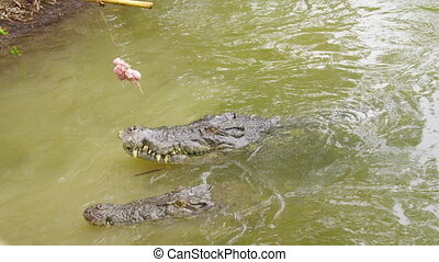 A shot of two alligators catching bait