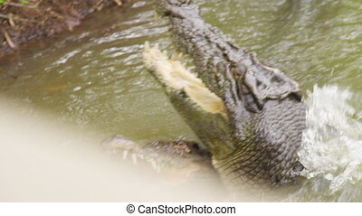 A shot of two head of crocodile - A medium shot two heads of...