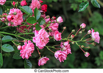 a shrub with small pink roses