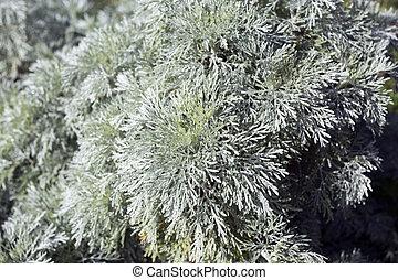 A Shrubby absinthe plant found in Sardinia