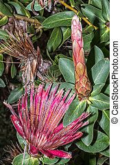 Shuttlecock Sugarbush, Protea Aurea, in the Helderberg Nature Reserve