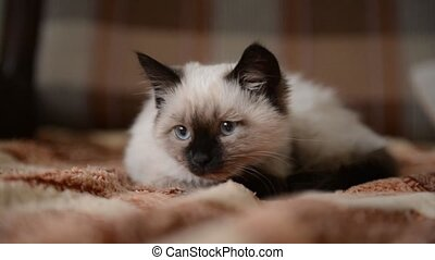 A siamese kitten lying on the bed