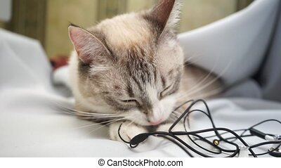 a siamese point lynx cat biting wires of headphones close up
