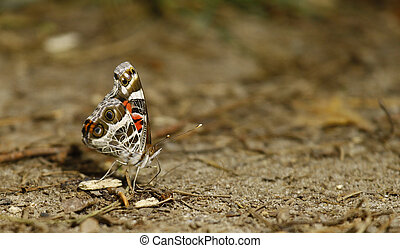 A side view of a Red Admiral Butterfly (Vanessa Atalanta) in nature on the ground eating and relaxing with room for your text.