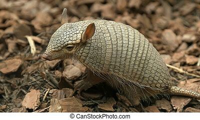 side view of a screaming hairy armadillo - a side view of a ...