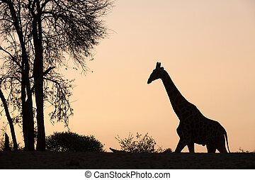 A silhouette of a giraffe and tree against an orange sky