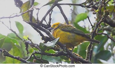 Silver-throated Tanager in the fog - A Silver-throated...