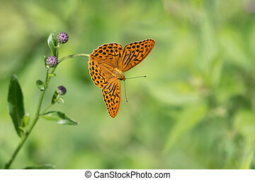 A Silver-washed fritillary butterfly sitting on a flower