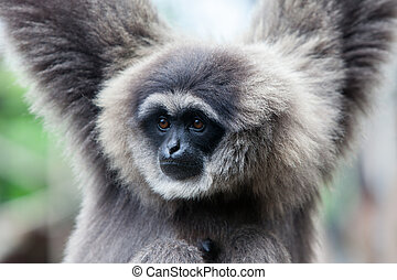 A Silvery Gibbon - A silvery gibbon stares into the distance
