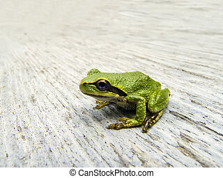 Pacific Tree Frog - A singe Pacific Tree Frog found in...