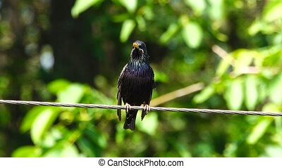 a singing starling in the spring