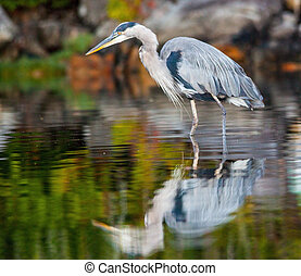 great blue heron fishing - a single adult great blue heron...