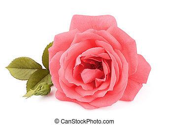 A single beautiful pink rose