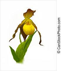 A single bloom of the endangered Yellow Lady Slipper, Cypripedium calceolus