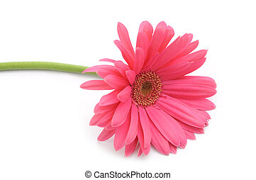 gerbera flower - a single gerbera flower on white