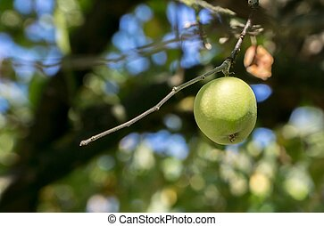 A single green apple hanging on a tree branch