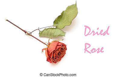 a single old rose