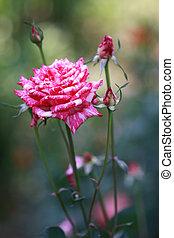Close up of a pink garden rose