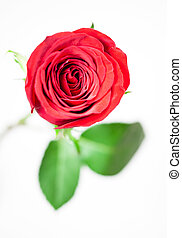 A single red rose on a white backgr