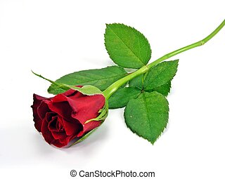 A single red rose on a white back ground